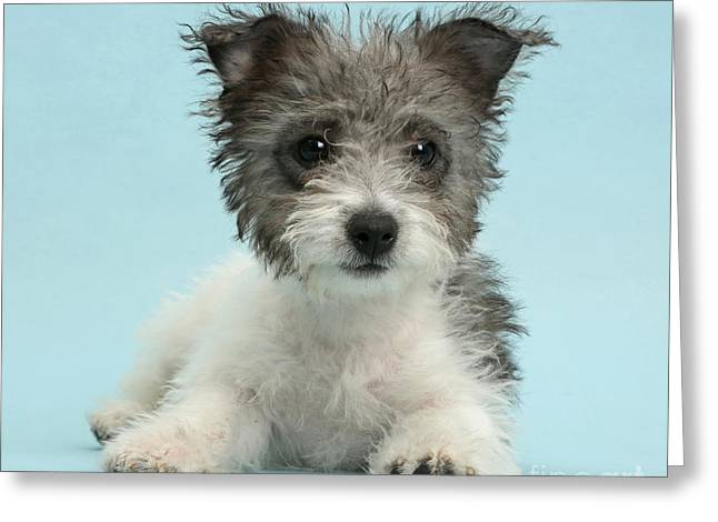 Jack Russell X Westie Pup Greeting Card by Mark Taylor