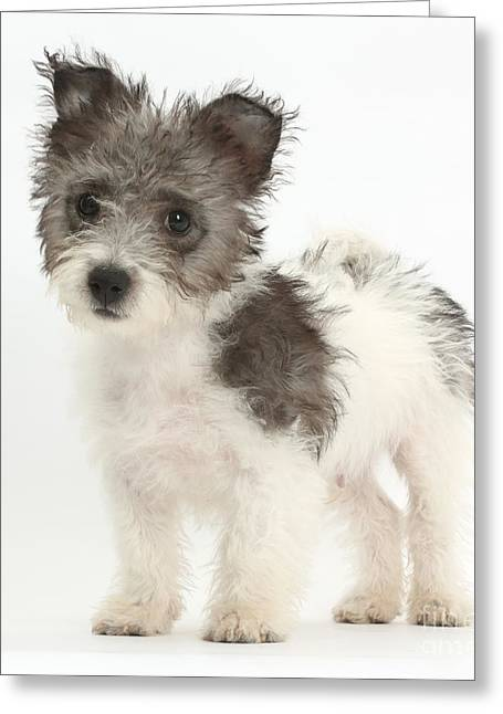 Jack Russell X Westie Pup Standing Greeting Card by Mark Taylor