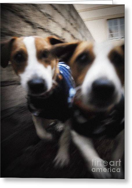 Jack Russells Greeting Card