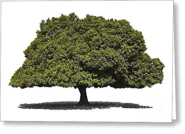 Jackfruit Tree Isolated Greeting Card by Image World