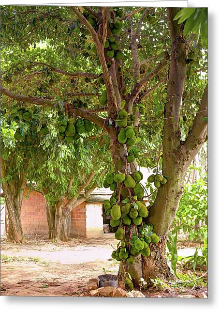 Jackfruit Tree With Fruit Growing Greeting Card by Ktsdesign