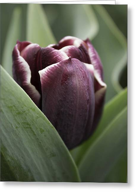 Jackpot Tulip Greeting Card by Joseph Skompski