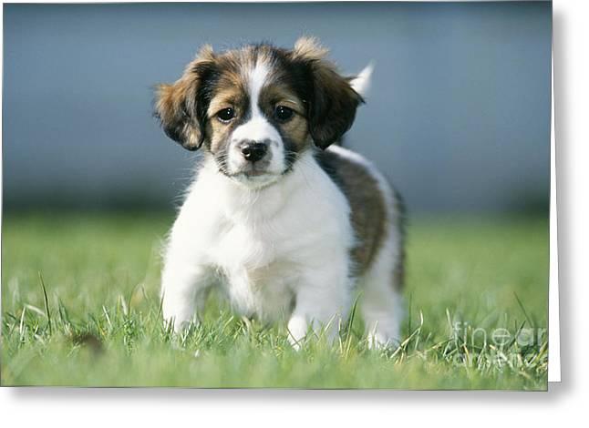 Jackshund Puppy Greeting Card