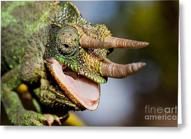 Jacksons Chameleon Greeting Card by David Fleetham