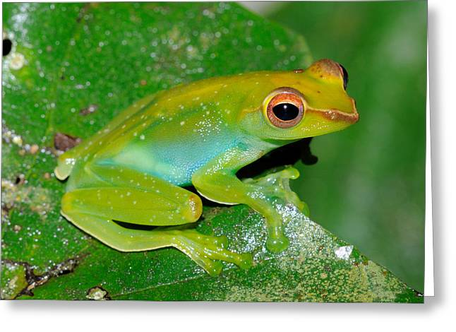 Jade Tree Frog, Malaysia Greeting Card by Fletcher & Baylis