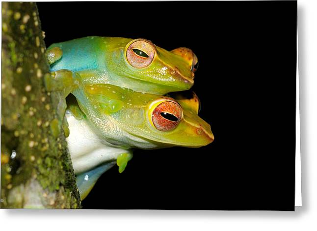 Jade Tree Frogs Mating Greeting Card by Fletcher & Baylis