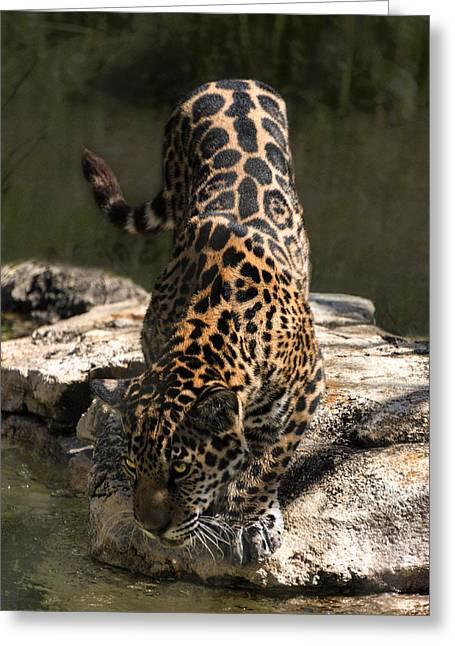 Jaguar Drinking Photograph By Lynn Palmer
