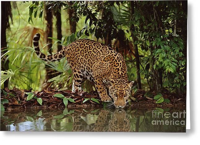 Jaguar Drinking Greeting Card by Frans Lanting MINT Images