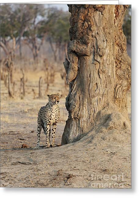Jaguar In Hwange National Park Greeting Card by BC Imaging