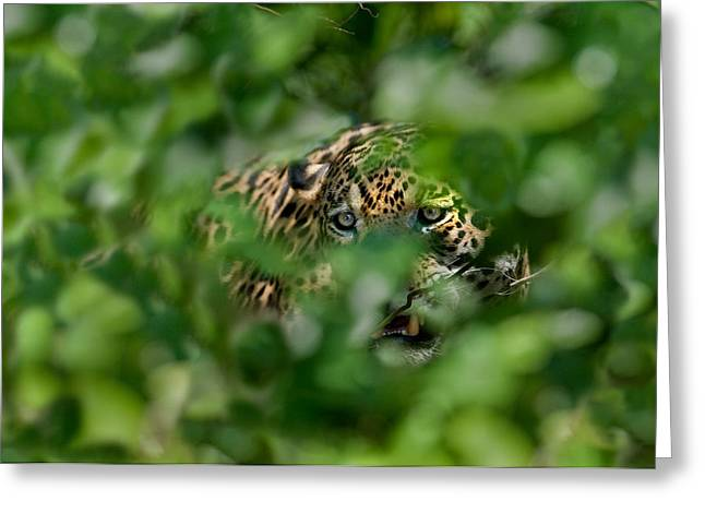 Jaguar Panthera Onca Behind Leaves Greeting Card