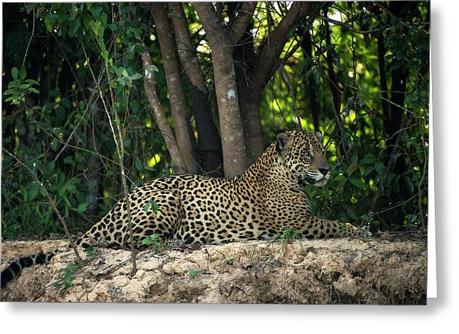 Jaguar (panthera Onca Greeting Card