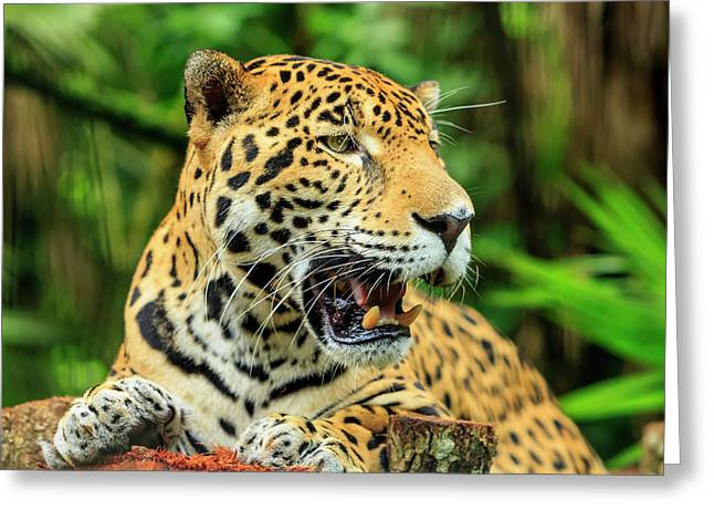 Jaguar (panthera Onca Greeting Card by Stuart Westmorland