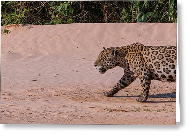 Jaguar Panthera Onca Walking Greeting Card by Panoramic Images