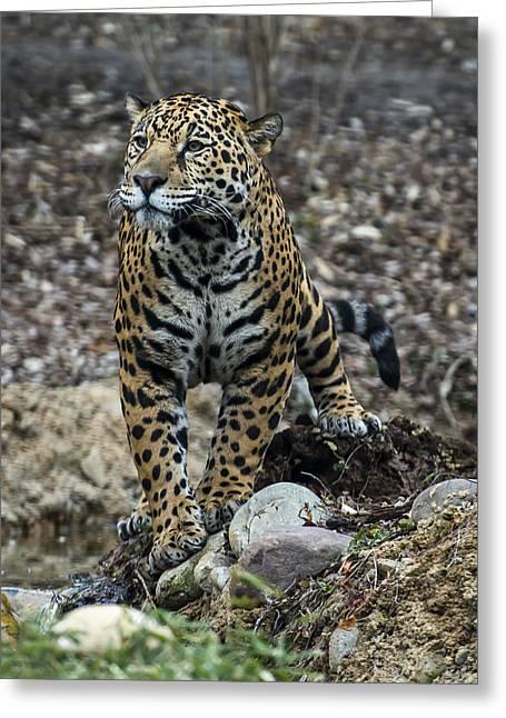 Jaguar Greeting Card by Phil Abrams