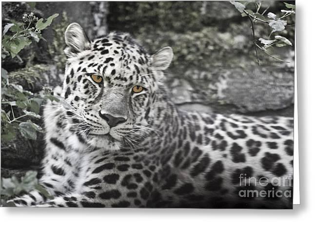 Jaguar Greeting Card by Rich Collins
