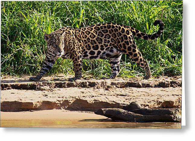 Jaguar River Walk Greeting Card