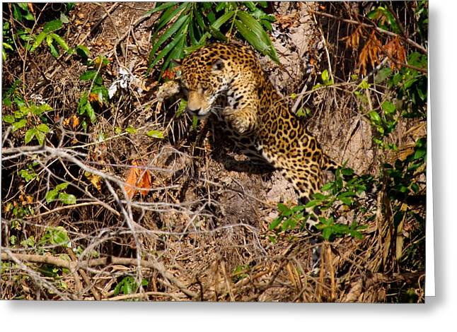 Jaguar Vs Caiman 2 Greeting Card