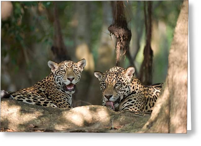 Jaguars Panthera Onca Resting Greeting Card by Panoramic Images
