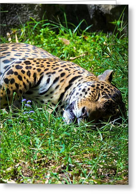 Jaguar's Slumber Greeting Card