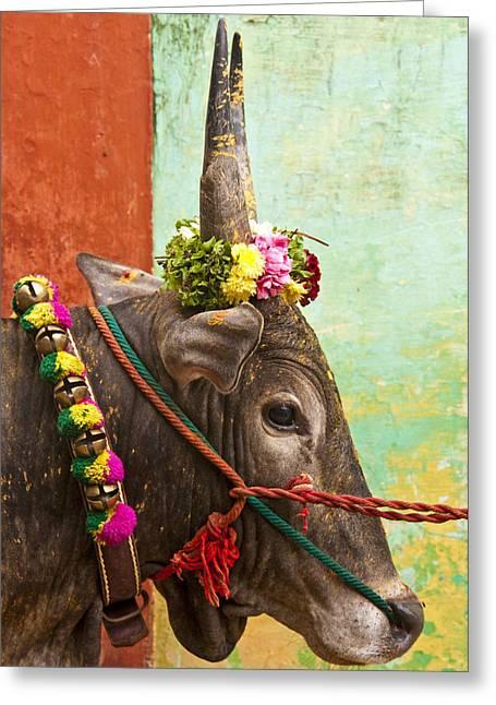 Greeting Card featuring the photograph Jallikattu Bull by Dennis Cox WorldViews