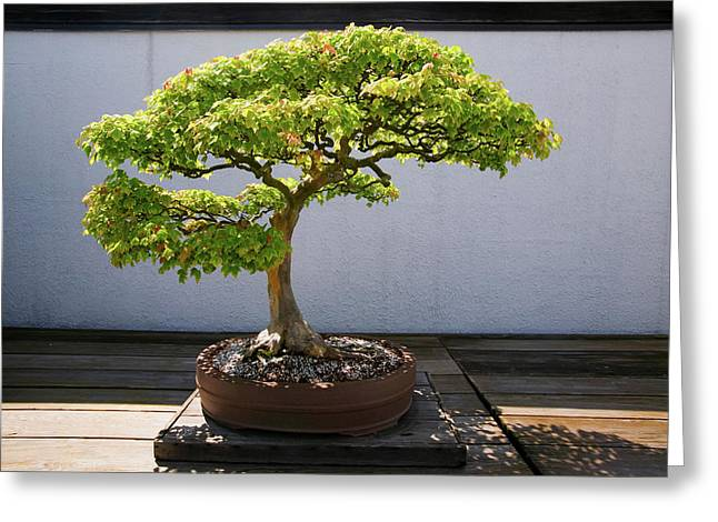 Japanese Bonsai Tree In National Greeting Card