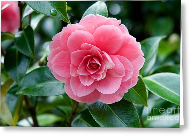 Japanese Camellia 2 Greeting Card