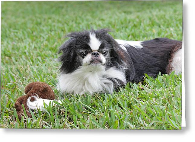 Japanese Chin - 1 Greeting Card by Rudy Umans