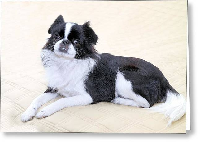 Japanese Chin - 5 Greeting Card by Rudy Umans