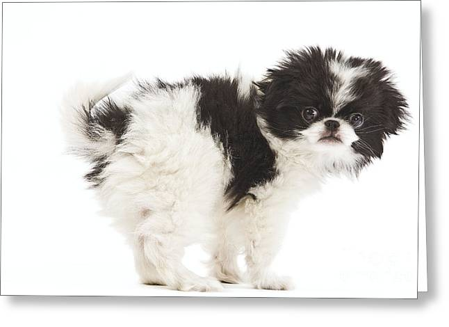 Japanese Chin Puppy Greeting Card