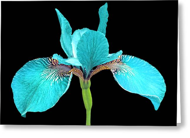 Japanese Iris Turquoise Black Three Greeting Card by Jennie Marie Schell