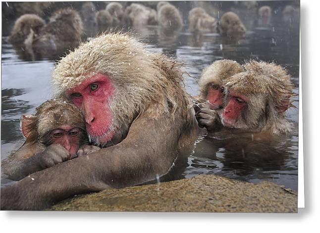 Japanese Macaque Grooming Mother Greeting Card by Thomas Marent