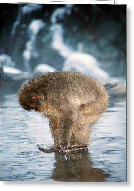Japanese Macaque In A Hot Spring Greeting Card by Andy Crump