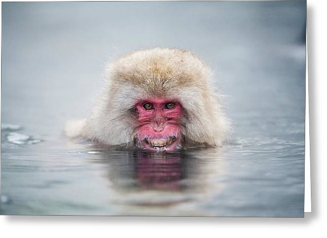 Japanese Macaque In A Hot Spring Greeting Card by Dr P. Marazzi