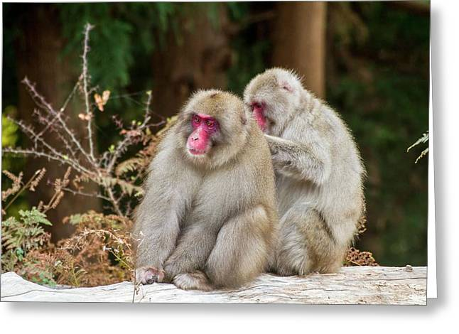 Japanese Macaque (macaca Fuscata) Greeting Card