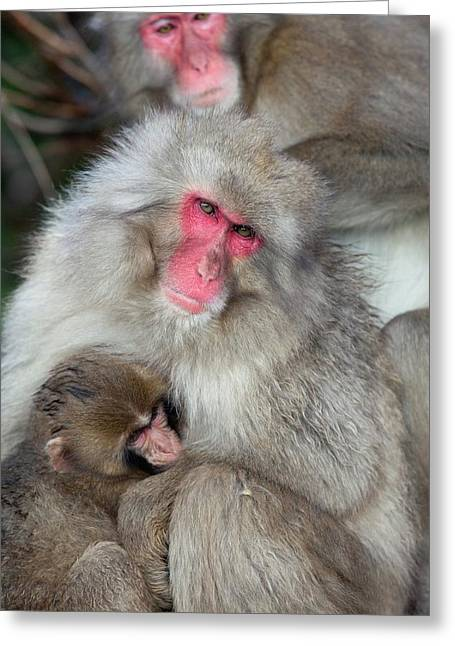 Japanese Macaque Monkey Suckling Baby Greeting Card by Paul D Stewart