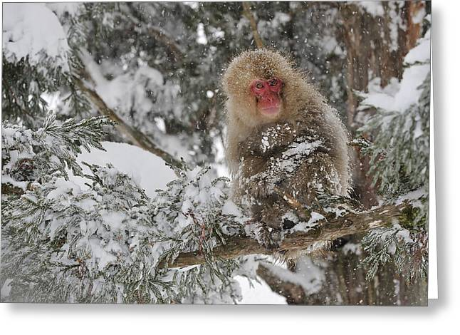 Japanese Macaque Mother And Baby Greeting Card
