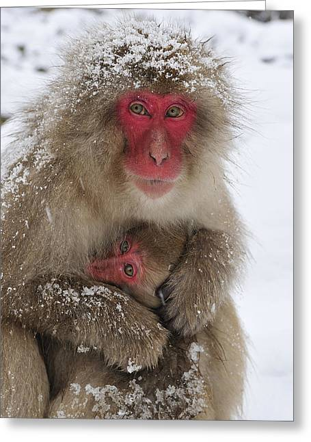 Japanese Macaque Warming Baby Greeting Card by Thomas Marent