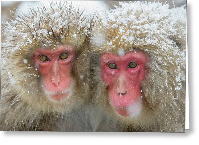 Japanese Macaques Greeting Card by Dr P. Marazzi