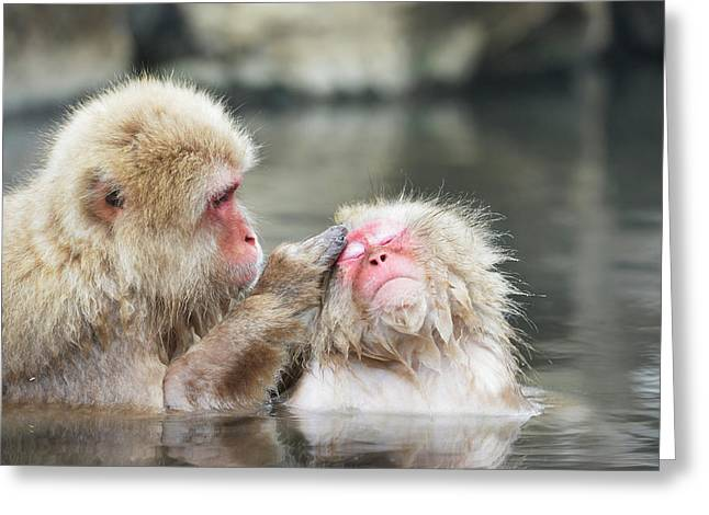 Japanese Macaques Grooming Greeting Card by Dr P. Marazzi