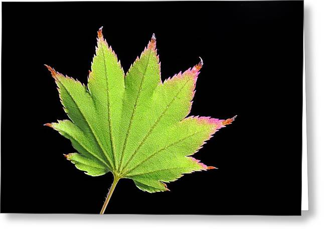 Japanese Maple (acer Japonicum) Leaf Greeting Card by Bildagentur-online/mcphoto-schulz
