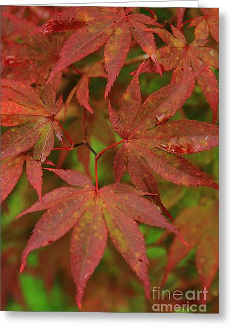 Japanese Maple After The Rain  Greeting Card