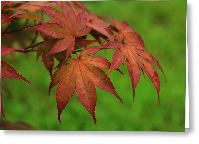 Japanese Maple Autumn Colors Greeting Card