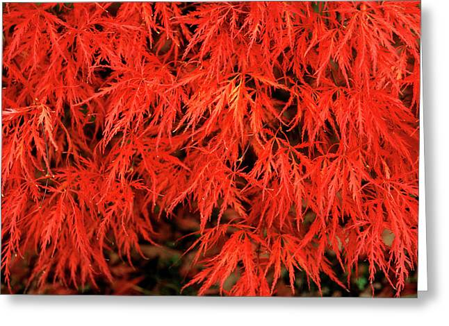 Japanese Maple 'dissectum Nigrum' Greeting Card by Andrew Ackerley/science Photo Library