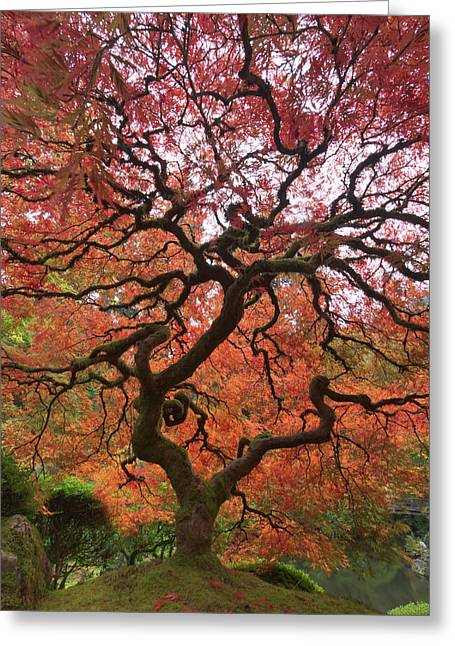 Japanese Maple In Fall Color Portland Photograph By William Sutton