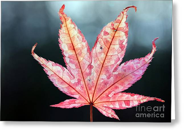 Greeting Card featuring the photograph Japanese Maple Leaf - 1 by Kenny Glotfelty