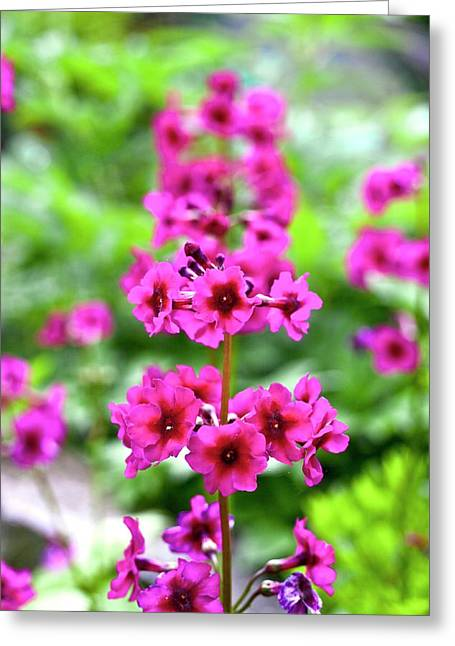 Japanese Primrose (primula Japonica) Greeting Card by Dan Sams