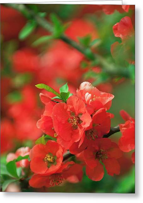 Japanese Quince (chaenomeles Japonica) Greeting Card by Maria Mosolova