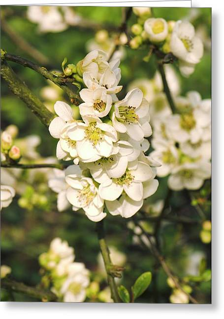 Japanese Quince (chaenomeles Speciosa) Greeting Card by Adrian Thomas