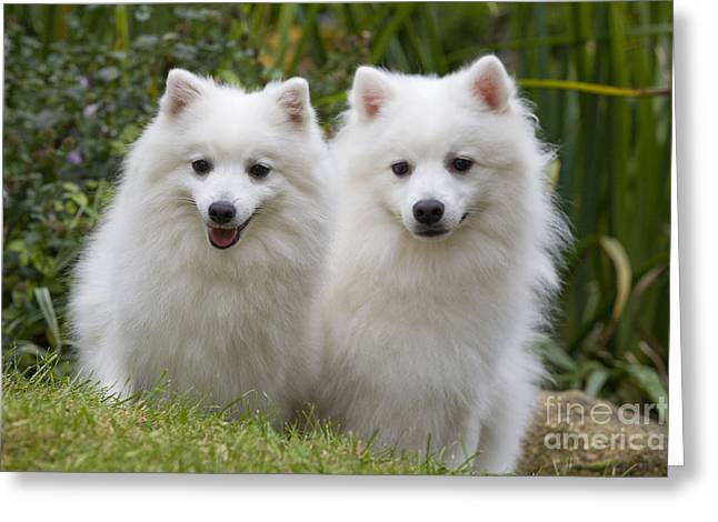 Japanese Spitz Dogs Greeting Card