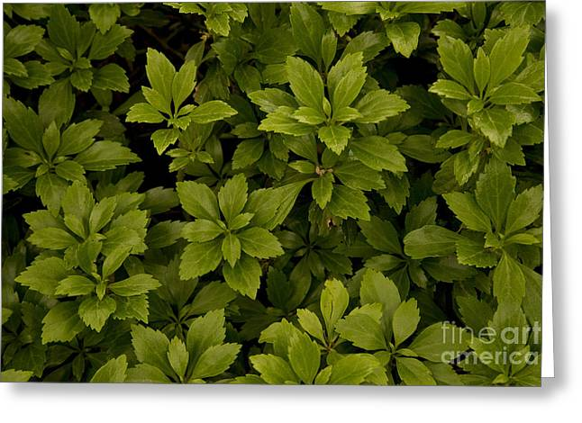 Japanese Spurge Greeting Card